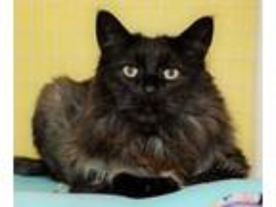 Adopt Sargent 659084 a All Black Domestic Longhair / Domestic Shorthair / Mixed