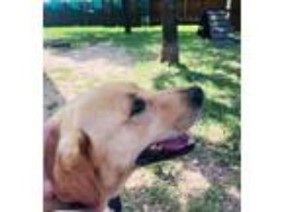 Adopt Barney a Golden Retriever, Labrador Retriever