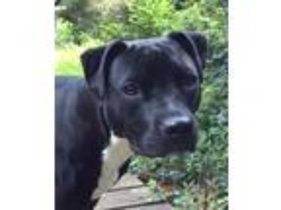Adopt Leia (**Courtesy Post**) a Black Pit Bull Terrier / Labrador Retriever /