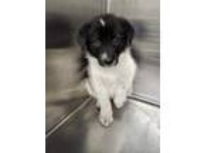 Adopt 41933941 a Black Border Collie / Mixed dog in Fort Worth, TX (25561669)