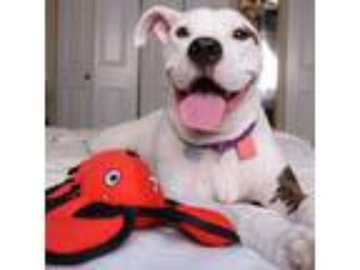 Adopt DeeDee a Pit Bull Terrier / Mixed dog in St. Louis, MO (22679510)