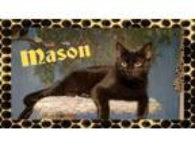 Adopt Mason a All Black Domestic Shorthair (short coat) cat in Bowie