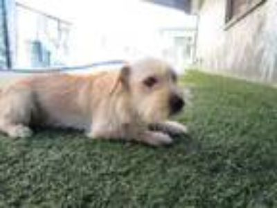 Adopt A978349 a Cairn Terrier, Mixed Breed
