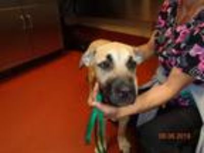 Adopt Sugar a Tan/Yellow/Fawn Anatolian Shepherd dog in Douglasville