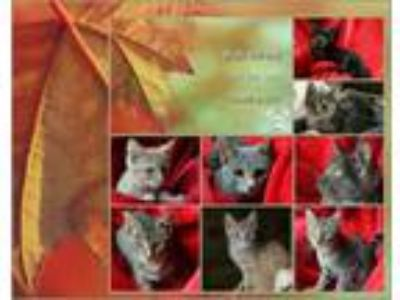 Adopt Fall Kittens a Tabby