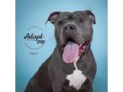 Adopt Boo a Gray/Blue/Silver/Salt & Pepper Mastiff / Mixed dog in Philadelphia