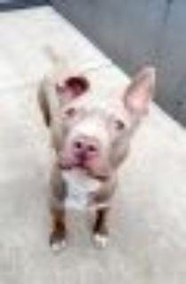 Camero Pit Bull Terrier Dog