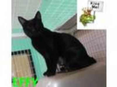 Adopt EFFY a All Black Domestic Shorthair / Domestic Shorthair / Mixed cat in