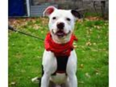 Adopt Sko a Black American Pit Bull Terrier / Mixed dog in New Castle