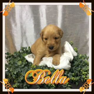 Bella Female AKC Golden Retriever 330-826-1882