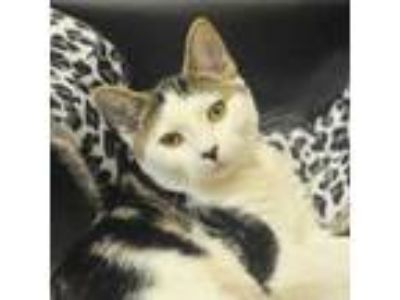 Adopt Lambchop a White Domestic Shorthair / Domestic Shorthair / Mixed cat in