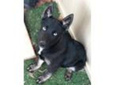 Adopt Drogon (Ready 6/22) a Black - with White Siberian Husky / German Shepherd