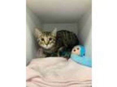 Adopt Yang a Brown or Chocolate Domestic Shorthair / Domestic Shorthair / Mixed