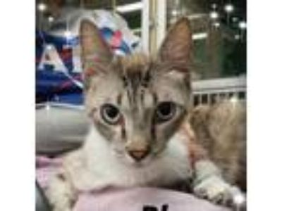 Adopt Willy a White (Mostly) Siamese cat in League City, TX (25572047)