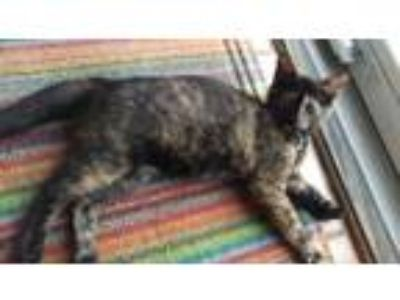 Adopt Peanut Brittle a Domestic Short Hair