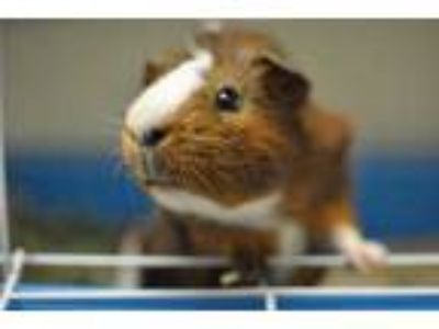 Adopt Sonny a Tan or Beige Guinea Pig / Guinea Pig / Mixed small animal in