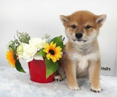 Shiba Inu PUPPY FOR SALE ADN-92101 - Red Shiba Inu pup Apple face for LA SF SEA NY