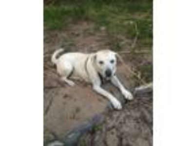 Adopt Hank a White Labrador Retriever / Mixed dog in Gainesville, GA (23198482)