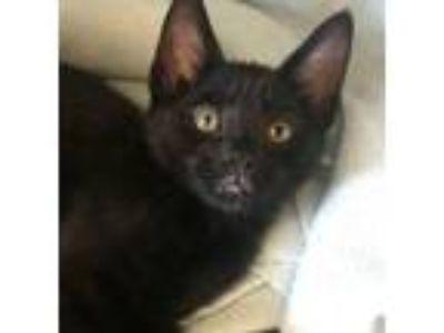 Adopt Thurston a American Shorthair, Oriental Short Hair