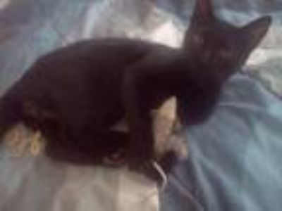 Adopt Pepper a American Shorthair