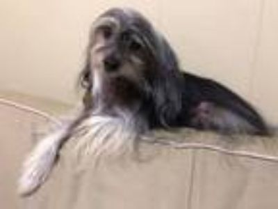 Adopt DITTO! a Chinese Crested Dog