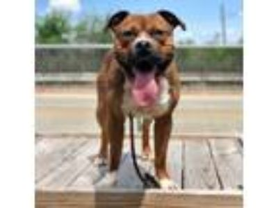 Adopt Gemini a Pit Bull Terrier, Mixed Breed