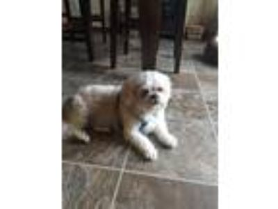Adopt Chris a White Shih Tzu / Mixed dog in Excelsior, MN (25660331)