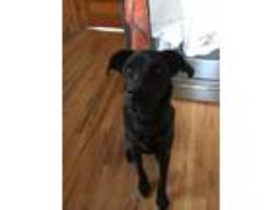 Adopt Phoebe a Black Labrador Retriever / Catahoula Leopard Dog / Mixed dog in