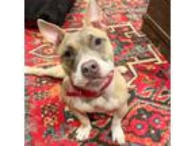 Adopt Brienne a Pit Bull Terrier, American Staffordshire Terrier