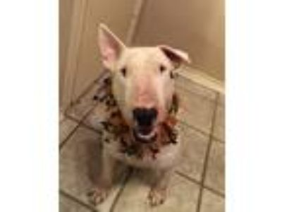 Adopt Tango a White - with Black Bull Terrier / Mixed dog in Dallas