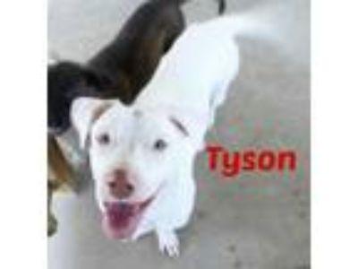 Adopt Tyson a Basset Hound, Labrador Retriever