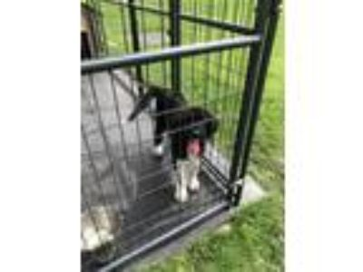 Adopt Cullen a Black - with White Poodle (Standard) / Great Pyrenees / Mixed dog