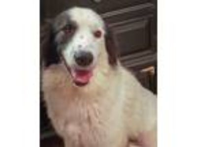 Adopt Bella (Formerly Shilo) a Border Collie