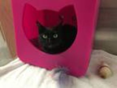 Adopt Stella May a Domestic Short Hair