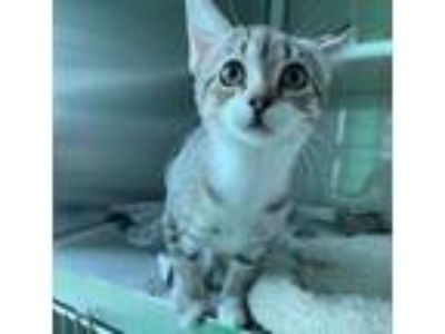 Adopt Cayenne a Tabby, Domestic Short Hair