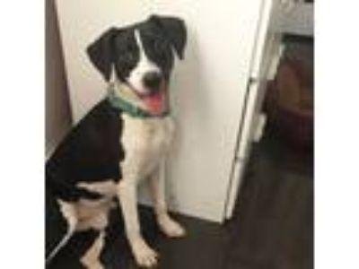 Adopt Gracie a Black - with White Labrador Retriever / Border Collie / Mixed dog