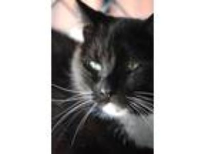 Adopt Twinky a Domestic Short Hair
