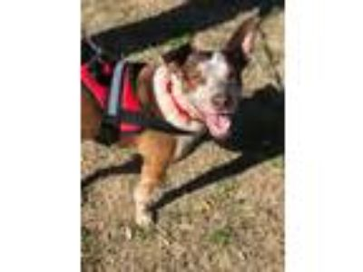 Adopt Speck a Red/Golden/Orange/Chestnut - with White Blue Heeler / Mixed dog in