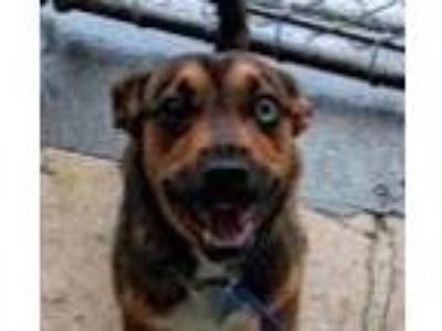Adopt Harley a Mountain Cur, Catahoula Leopard Dog
