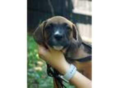 Adopt Vaida a Brown/Chocolate - with Black Boxer / German Shepherd Dog / Mixed