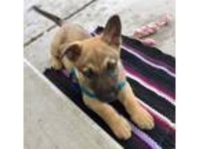 Adopt Marshall a German Shepherd Dog