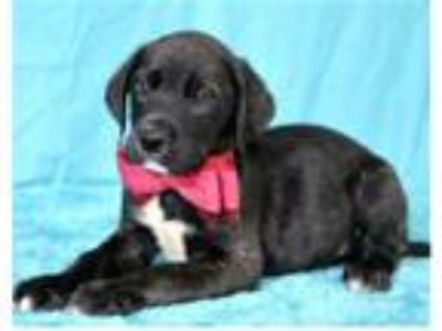 Adopt Woody a Labrador Retriever / Mixed dog in Pittsburgh, PA (25651859)