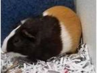 Adopt Mocha a Tan or Beige Guinea Pig / Mixed small animal in DeKalb