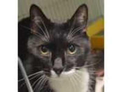 Adopt Sylvester a Domestic Short Hair