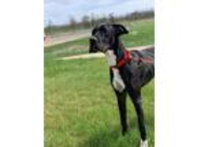 Adopt Millie a Black Great Dane / Mixed dog in Pequot Lakes, MN (25291203)