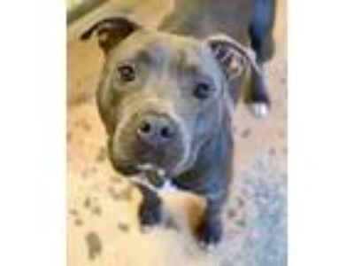 Adopt Rielyn a Gray/Blue/Silver/Salt & Pepper American Pit Bull Terrier / Mixed