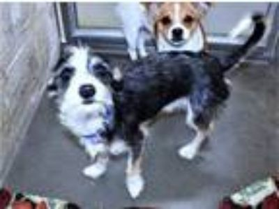 Adopt R232617 / Danny a Jack Russell Terrier