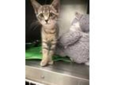 Adopt Lynn a Gray or Blue Domestic Shorthair / Domestic Shorthair / Mixed cat in