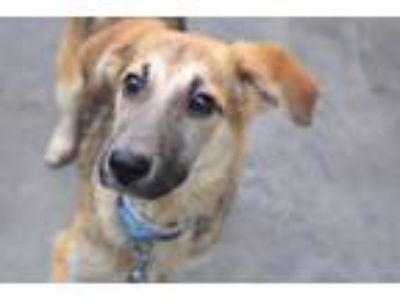 Adopt Rayna a Jack Russell Terrier, German Shepherd Dog