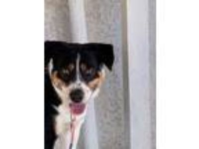 Adopt Atari a Black - with White Australian Shepherd / Australian Cattle Dog dog